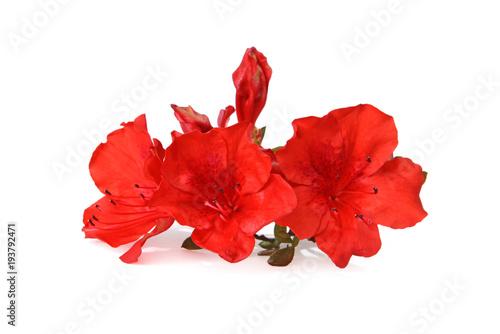 Aluminium Azalea Fleurs d'azalée rouge