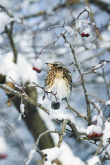 beautiful speckled thrush bird sitting on a branch with juicy berries of mountain ash