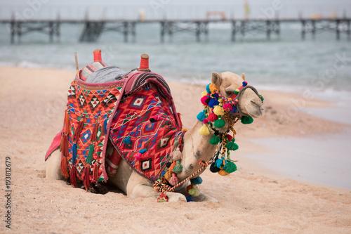 Aluminium Kameel Camel sitting on a sea beach in Egypt, Sharm-El-Sheikh