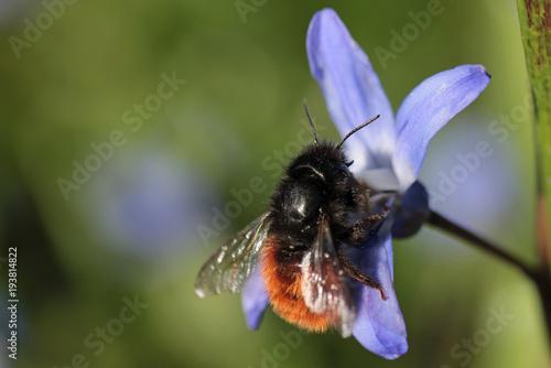 Fotobehang Bee cute bee on scilla