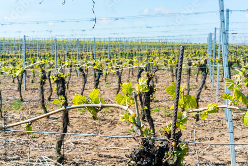 Foto op Canvas Wijngaard wine buds in spring on a vineyard