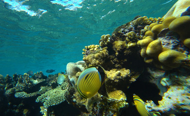 coral reef and butterfly fish