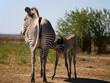 Zebra mom feeding its foal