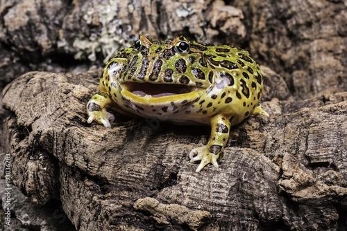 Aluminium Kikker Argentine horned frog
