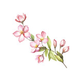 Branch of sakura blossoms. Hand draw watercolor illustration. - 193836856