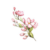 Branch of sakura blossoms. Hand draw watercolor illustration. - 193836871