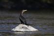 cormorant in autumn