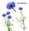 Leinwanddruck Bild - Cornflowers isolated on white without shadow