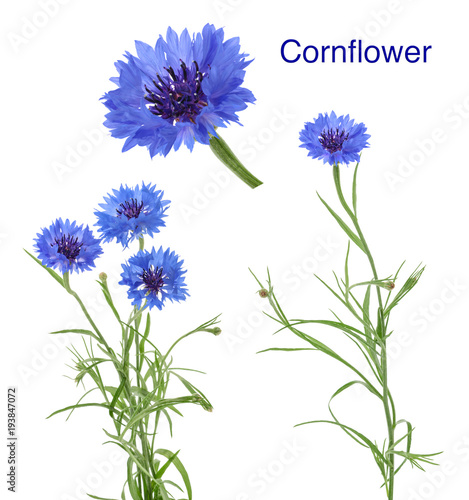 Leinwanddruck Bild Cornflowers isolated on white without shadow
