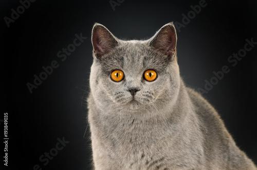 Fotobehang Kat Britisch Kurzhaar Katze auf schwarzem Hintergrund