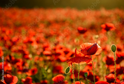 Papiers peints Rouge traffic poppy field in summer evening. beautiful nature scenery with vivid flowers in sunset light