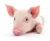 Pig on white - 193860227