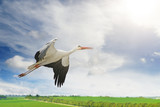 Flying stork on background of green spring field and blue sky