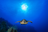 A hawksbill turtle enjoys cruising through his underwater domain above a pristine tropical reef. The coral grows under the sun that can be seen in the sky through the blue ocean - 193882640