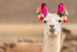 Andes region Bolivia lama closeup © Agota