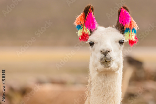 Plakat Andes region Bolivia lama closeup