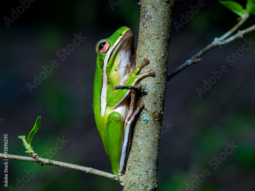 Aluminium Kikker Green Tree Frog on Branch