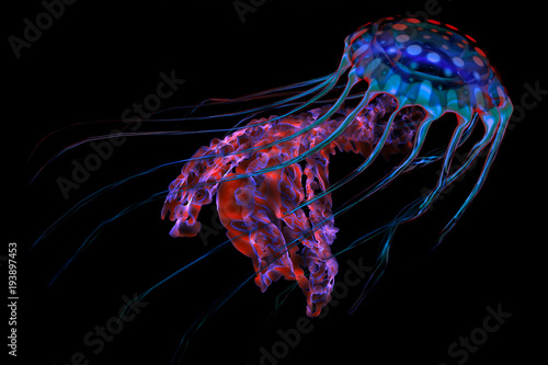 Fototapeta Blue Red Jellyfish on Black - The ocean jellyfish searches for fish prey and uses its poisonous tentacles to subdue the animals it hunts.
