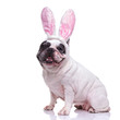 happy ester bunny french bulldog sitting