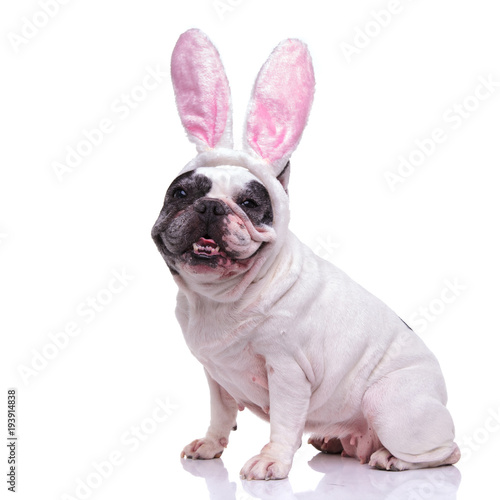 happy ester bunny french bulldog sitting