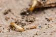 Macro termites are feeding