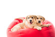 Two beige puppies looking at camera and lying on bag chair isolated on white