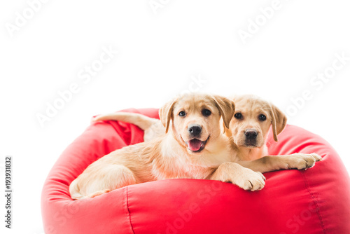 Wall mural Two beige puppies looking at camera and lying on bag chair isolated on white
