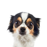 Chihuahua Dog Posed on White Background