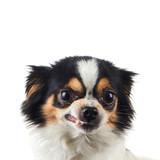 Chihuahua Dog Angry
