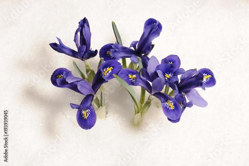 Fotobehang Iris spring flowers