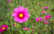 Cosmos Flower Field 04 - 193954099
