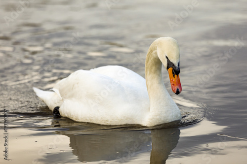 Aluminium Zwaan Swan in the water