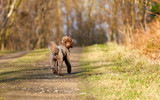 Brown Miniature Poodle looking back while walking along a country lane and having fun at sunset in the countryside - 193961054