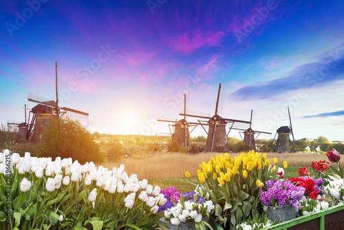 Aluminium Lente Vibrant pink tulips with Dutch windmills along a canal, Netherlands