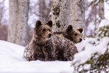 Bear in winter time. Bear bruin in the forest. - 193966601