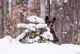 Bear in winter time. Bear bruin in the forest. - 193966629