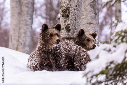 Fototapeta Bear in winter time. Bear bruin in the forest.