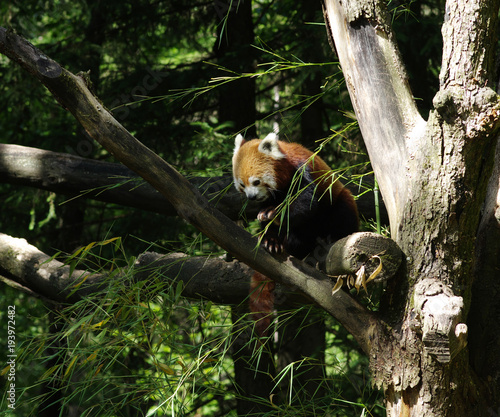 Fotobehang Panda red panda in a tree