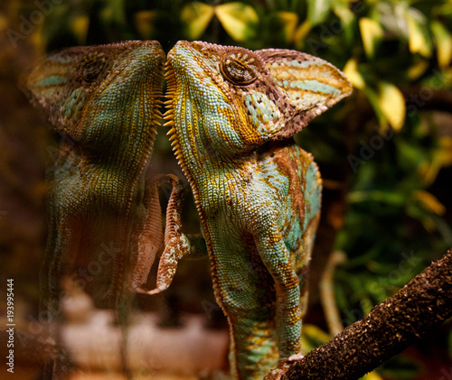 Plexiglas Kameleon Chameleon looks at his reflection in the glass wall of teratium.