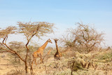 Giraffes among the trees on the savanna - 193996411