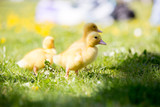 Three little ducklings in a nest, outdoors image in the park - 193999638