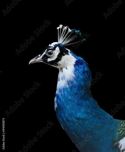 Aluminium Pauw Closeup of a blue indian peacock head