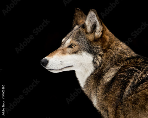Fotobehang Wolf Red Wolf