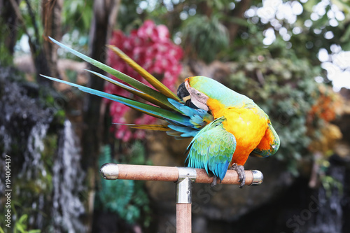 Aluminium Papegaai Macaw parrot is scratching his tail. Parrot is tilted to the tail.
