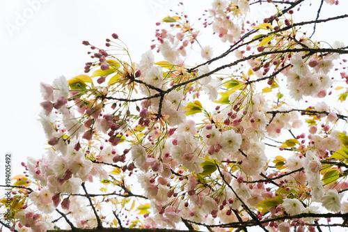 Fotobehang Kersen Cherry tree blossom