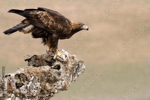 Aluminium Eagle Adut male of Aquila chrysaetos, Golden eagle