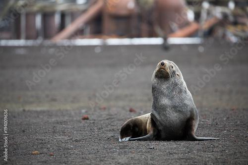 Tuinposter Antarctica An Antarctic fur seal on Deception Island in Antarctica