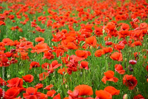 Aluminium Rood Opium poppy, botanical plant, ecology.