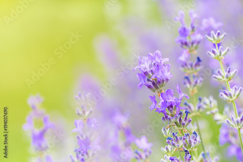 Poster Lavendel Lavender flower head close up. Bright green natural background.