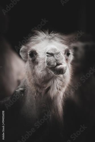 Aluminium Kameel Portrait of camel. Camelus bactrianus